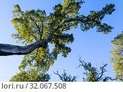 Cork oak in Pujerra, Málaga, Andalusia, Spain, Europe. Стоковое фото, фотограф José Luis Hidalgo Salguero / easy Fotostock / Фотобанк Лори