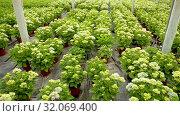 Купить «Hydrangea. Green plantation of new-blown flowers cultivated in greenhouse», видеоролик № 32069400, снято 26 апреля 2019 г. (c) Яков Филимонов / Фотобанк Лори