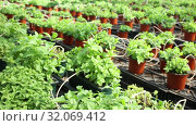 Купить «Rows of pots with fragrant organic mint seedlings growing in glasshouse», видеоролик № 32069412, снято 3 июня 2019 г. (c) Яков Филимонов / Фотобанк Лори