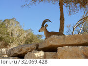 Купить «Nubian ibex (Capra nubiana sinaitica), female, lies on stone wall in tree shade. Sde Boker, kibbutz in Negev desert of southern Israel», фото № 32069428, снято 3 августа 2019 г. (c) Валерия Попова / Фотобанк Лори