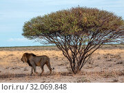 Nature, Wild, Namibia, Lion, Man, Tasha, Panthera leo. Стоковое фото, фотограф Lukas Schwab / age Fotostock / Фотобанк Лори