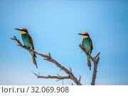 Nature, Wild, Bird, Namibia, Tasha, Meropidae, Bee-eater. Стоковое фото, фотограф Lukas Schwab / age Fotostock / Фотобанк Лори