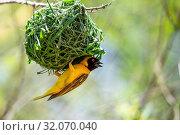 Nature, Wild, Bird, Namibia, Tasha, Ploceus velatus, Southern masked weaver. Стоковое фото, фотограф Lukas Schwab / age Fotostock / Фотобанк Лори