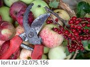 Купить «Крупным планом сектор, который лежит на свежих яблоках рядом с веткой красной смородины на даче», фото № 32075156, снято 16 августа 2019 г. (c) Николай Винокуров / Фотобанк Лори