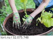 Купить «Female hands in rubber gloves set green plants in soil, steel barrel for seedling, close up view», фото № 32075748, снято 20 июля 2019 г. (c) Кекяляйнен Андрей / Фотобанк Лори