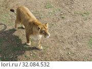 Купить «Молодая красивая львица стоит на земле. Взгляд в сторону», фото № 32084532, снято 10 марта 2019 г. (c) Наталья Гармашева / Фотобанк Лори