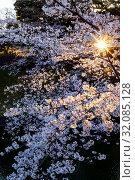 Japan, Honshu, Tokyo, Kudanshita, Chidori-ga-fuchi, Imperial Palace Moat , Cherry Blossom. Стоковое фото, фотограф Steve Vidler / age Fotostock / Фотобанк Лори
