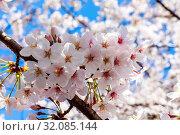 Japan, Honshu, Tokyo, Kudanshita, Chidori-ga-fuchi, Cherry Blossom. Стоковое фото, фотограф Steve Vidler / age Fotostock / Фотобанк Лори