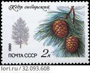 Siberian pine, Pinus sibirica, postage stamp, Russia, USSR, 1980. (2011 год). Редакционное фото, фотограф Ivan Vdovin / age Fotostock / Фотобанк Лори