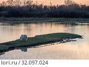 Купить «Italy, Friuli, Isonzo Estuary Regional Park, Isola della Cona Bird Sanctuary, wetland, Camargue Horse», фото № 32097024, снято 30 мая 2019 г. (c) age Fotostock / Фотобанк Лори