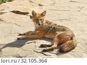Купить «Golden jackal (Canis aureus) on rock», фото № 32105364, снято 29 августа 2019 г. (c) Валерия Попова / Фотобанк Лори