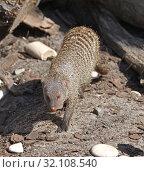 Купить «Banded mongoose (Mungos mungo) is coming. Portrait», фото № 32108540, снято 29 августа 2019 г. (c) Валерия Попова / Фотобанк Лори