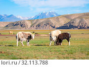 Young yaks in the pasture in kyrgyz mountains, Kyrgyzstan. Стоковое фото, фотограф Zoonar.com/Ana Flašker / age Fotostock / Фотобанк Лори