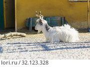 Коза итальянской породы Гиргентана (Capra aegagrus hircus) с красивыми витыми рогами - потомок дикого винторогого козла из высокогорного Афганистана. Лежит на сельскохозяйственном дворе. Стоковое фото, фотограф Наталья Гармашева / Фотобанк Лори