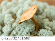 Купить «suillus bovinus mushroom in reindeer lichen moss», фото № 32131588, снято 13 сентября 2018 г. (c) Syda Productions / Фотобанк Лори