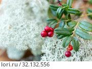 Купить «close up of cowberry and reindeer lichen moss», фото № 32132556, снято 13 сентября 2018 г. (c) Syda Productions / Фотобанк Лори