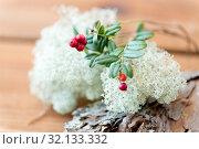 Купить «close up of cowberry and reindeer lichen moss», фото № 32133332, снято 13 сентября 2018 г. (c) Syda Productions / Фотобанк Лори