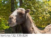 Купить «Портрет улыбающегося верблюда», фото № 32139824, снято 22 июля 2019 г. (c) Николай Мухорин / Фотобанк Лори