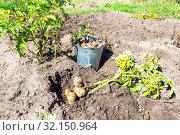 Купить «Freshly dug organic potatoes of new harvest», фото № 32150964, снято 24 августа 2018 г. (c) FotograFF / Фотобанк Лори