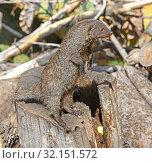 Купить «Banded mongoose (Mungos mungo) stands on his hind legs», фото № 32151572, снято 29 августа 2019 г. (c) Валерия Попова / Фотобанк Лори