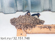 Купить «Swallow and baby birds in nest», фото № 32151748, снято 11 августа 2012 г. (c) Юрий Бизгаймер / Фотобанк Лори