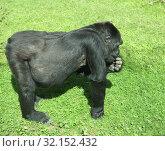 Купить «Western lowland gorilla (Gorilla gorilla) in green meadow», фото № 32152432, снято 29 августа 2019 г. (c) Валерия Попова / Фотобанк Лори