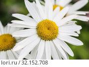 Large garden chamomile. Стоковое фото, фотограф Юрий Бизгаймер / Фотобанк Лори