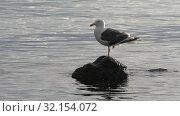 Купить «Тихоокеанская чайка стоит на камне в Тихом океане», видеоролик № 32154072, снято 9 сентября 2019 г. (c) А. А. Пирагис / Фотобанк Лори