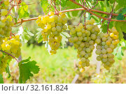Купить «Gardening, agriculture, agronomy, fruit and berry cultivation. Harvest season. Viticulture. Healthy food. Ripe bunches of yellow white grape fruit hanging on a vine on a bush in a vineyard garden on a warm sunny day», фото № 32161824, снято 7 сентября 2019 г. (c) Светлана Евграфова / Фотобанк Лори