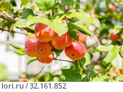 Купить «Gardening, agriculture, agronomy, fruit and berry cultivation. Harvest season. Garden fruit tree apple tree. Healthy diet food. Ripe fruits of red apples on a branch in the garden on a warm sunny day», фото № 32161852, снято 7 сентября 2019 г. (c) Светлана Евграфова / Фотобанк Лори