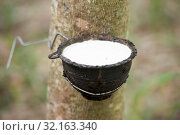 Купить «A rubber tree earning in the province of Buri Ram in Isan in Northeast thailand. Thailand, Buriram, November, 2017», фото № 32163340, снято 26 мая 2020 г. (c) age Fotostock / Фотобанк Лори