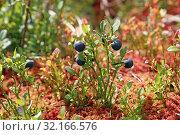 Купить «Кустик черники (Vaccinium myrtillus) осенью на Ямале», фото № 32166576, снято 9 сентября 2019 г. (c) Григорий Писоцкий / Фотобанк Лори