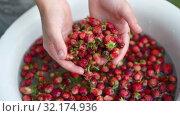 Купить «Child shows to the camera strawberries in his hands and put it back to water», видеоролик № 32174936, снято 11 июля 2019 г. (c) Ирина Мойсеева / Фотобанк Лори