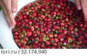 Купить «Childs hand washs small strawberries in enamel bowl. Close-up. show berries in his hand», видеоролик № 32174940, снято 11 июля 2019 г. (c) Ирина Мойсеева / Фотобанк Лори