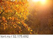 Купить «Sunny yellow autumn forest, tree branches on the background of the setting sun», фото № 32175692, снято 17 октября 2018 г. (c) Ольга Зиновская / Фотобанк Лори