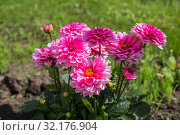 Pink dahlia flowers on flowerbed in garden. Стоковое фото, фотограф Юлия Бабкина / Фотобанк Лори