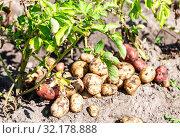 Купить «Freshly dug organic potatoes of new harvest», фото № 32178888, снято 24 августа 2018 г. (c) FotograFF / Фотобанк Лори