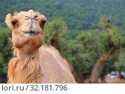 Portrait of a camel on a sunny summer day. Стоковое фото, фотограф Алексей Кузнецов / Фотобанк Лори