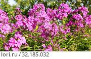 Купить «Pink decorative phlox flowers sway in the wind», видеоролик № 32185032, снято 17 сентября 2019 г. (c) FotograFF / Фотобанк Лори