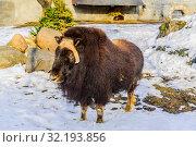 Купить «Овцебык ранним весенним вечером в вольере на снегу в зоопарке», фото № 32193856, снято 5 апреля 2018 г. (c) Владимир Устенко / Фотобанк Лори