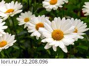 Купить «Сортовая крупная белая ромашка - неприхотливое многолетнее растение с крупными соцветиями», фото № 32208096, снято 25 июля 2019 г. (c) Людмила Капусткина / Фотобанк Лори