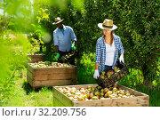 Купить «Woman laying harvested pears in box», фото № 32209756, снято 14 августа 2019 г. (c) Яков Филимонов / Фотобанк Лори