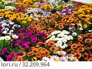 Купить «African daisies growing in greenhouse farm», фото № 32209964, снято 16 июля 2020 г. (c) Яков Филимонов / Фотобанк Лори