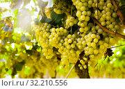 Купить «Ripe bunches of green grapes hanging», фото № 32210556, снято 29 февраля 2020 г. (c) Татьяна Яцевич / Фотобанк Лори