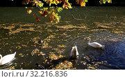 Купить «Утки и лебеди плавают в пруду в Царицыне, Москва, Россия», видеоролик № 32216836, снято 24 сентября 2019 г. (c) Наталья Волкова / Фотобанк Лори