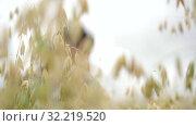 Купить «Silhouette of a brunette woman through the ears of oats, cloudy day, slow motion», видеоролик № 32219520, снято 13 августа 2019 г. (c) Ирина Мойсеева / Фотобанк Лори
