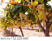 Купить «Ripe bunches of green grapes hanging», фото № 32225600, снято 29 февраля 2020 г. (c) Татьяна Яцевич / Фотобанк Лори