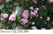 Купить «Rose flowers blooming in spring garden», видеоролик № 32230396, снято 27 мая 2019 г. (c) Яков Филимонов / Фотобанк Лори