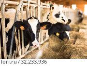Cow chewing food on farm (2017 год). Редакционное фото, фотограф Татьяна Яцевич / Фотобанк Лори