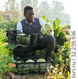 Man gathering in crops of cauliflower. Стоковое фото, фотограф Яков Филимонов / Фотобанк Лори